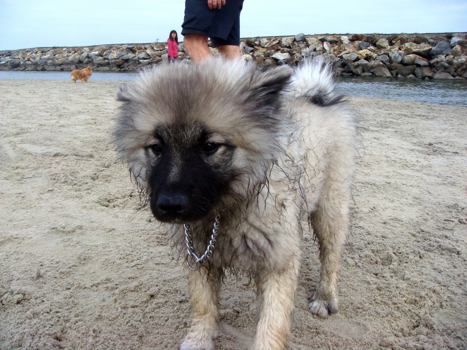 Keeshond Rescue  One of two Keeshond puppies